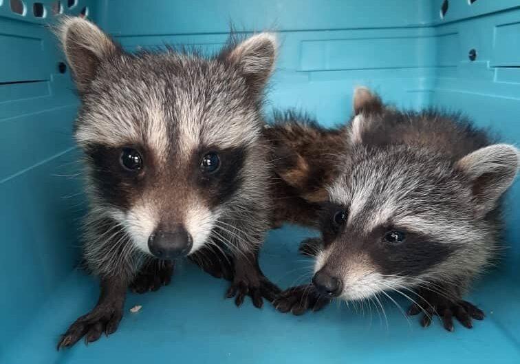 raccoonjuvies